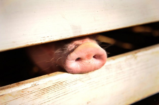 pig snout