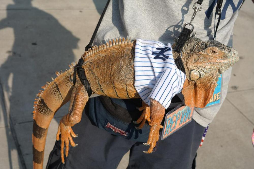 yankee iguana