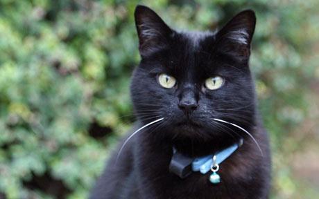 belled cat