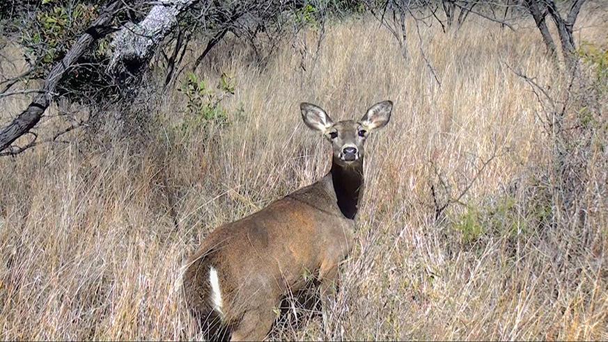 Guerra Deer12