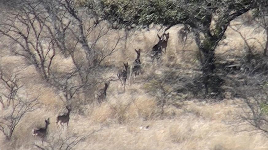 Guerra Deer18