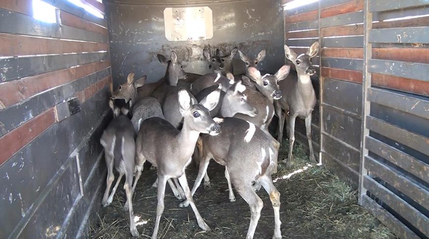 Guerra Deer5
