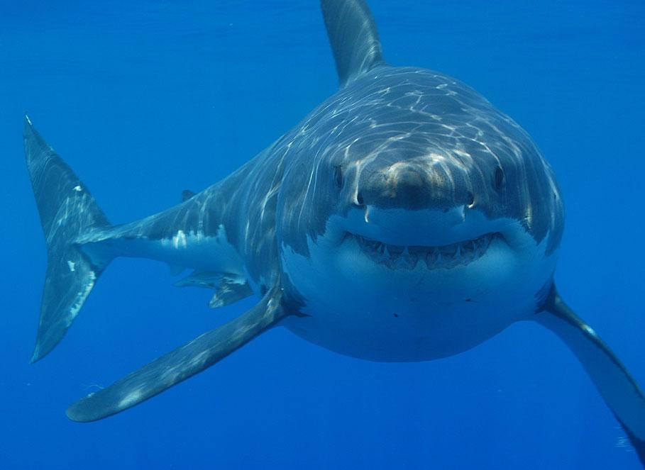 Political shark